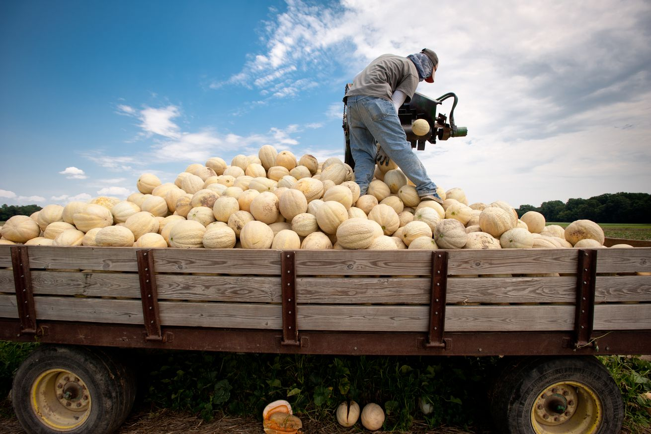 Migrant worker sorting cantaloupe with machinery in the field of a farm over pile of cantaloupe