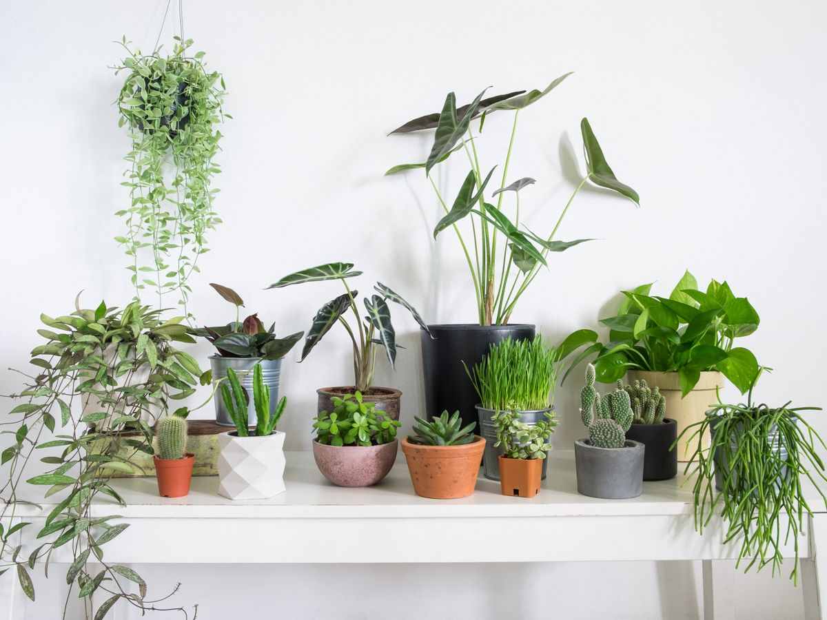 Several plants of varying heights—some trailing, some upright—sit on a white table in a white room. A strand of pearls plants hangs above on the left.