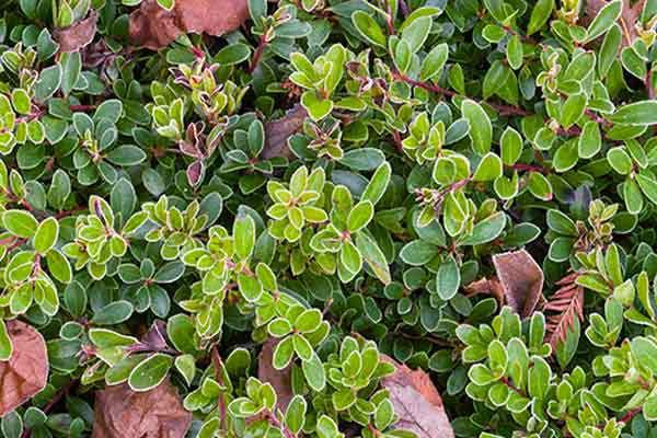 Bearberry (Arctostaphylos Uva-Ursi) Groundcover