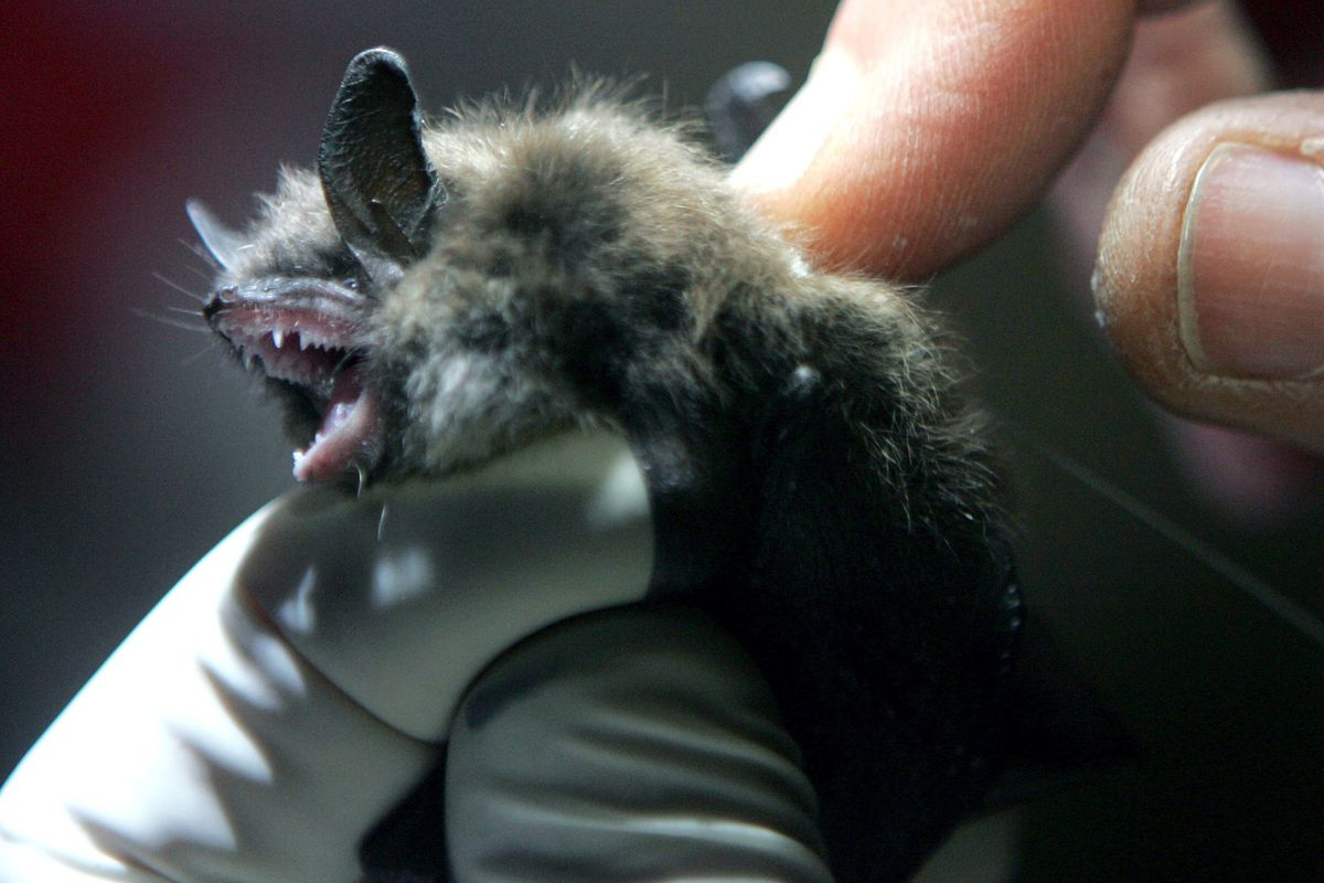 A radio transmitter is inserted into a little brown bat.