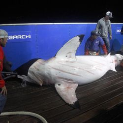 In this Sept. 13, 2012, photo, scientists collect blood and tissue samples from a female great white shark on the research vessel Ocearch in the Atlantic Ocean off the coast of Chatham, Mass. Before release, the nearly 15-foot, 2,292-pound shark was named Genie for famed shark researcher Eugenie Clark.  The Ocearch team baits the fish and leads them onto a lift, tagging and taking blood, tissue and semen samples up close from the world's most feared predator. The real-time satellite tag tracks the shark each time its dorsal fin breaks the surface, plotting its location on a map.