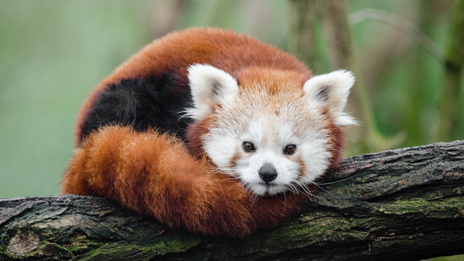 panda animals verge review