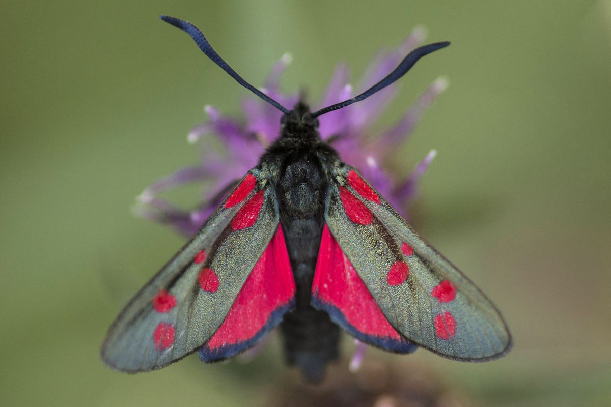the prettiest moth you will see
