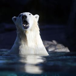 Hope, one of two new polar bears at Utah's Hogle Zoo, swims in the zoo's Rocky Shores exhibit in Salt Lake City on Tuesday, Oct. 10, 2017.