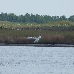 This June 5, 20012 photo provided by LSU AgCenter and U.S. Geological Survey, shows three whooping cranes in the White Lake Wetland Conservation Area _ the general area where Louisiana's last wild flock of the birds lived in the 1930s and where federal and state agencies are trying to establish a flock that can survive on its own.  These birds are among 16 brought to Louisiana in December 2011. Of 26 cranes brought in 2010 and 2011, 14 survive. Another 14 are scheduled to arrive in late November.