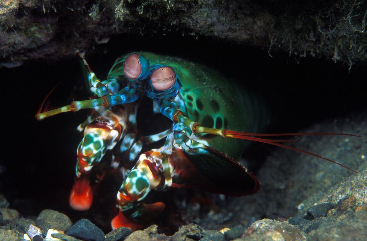 Peacock mantis shrimp in its burrow