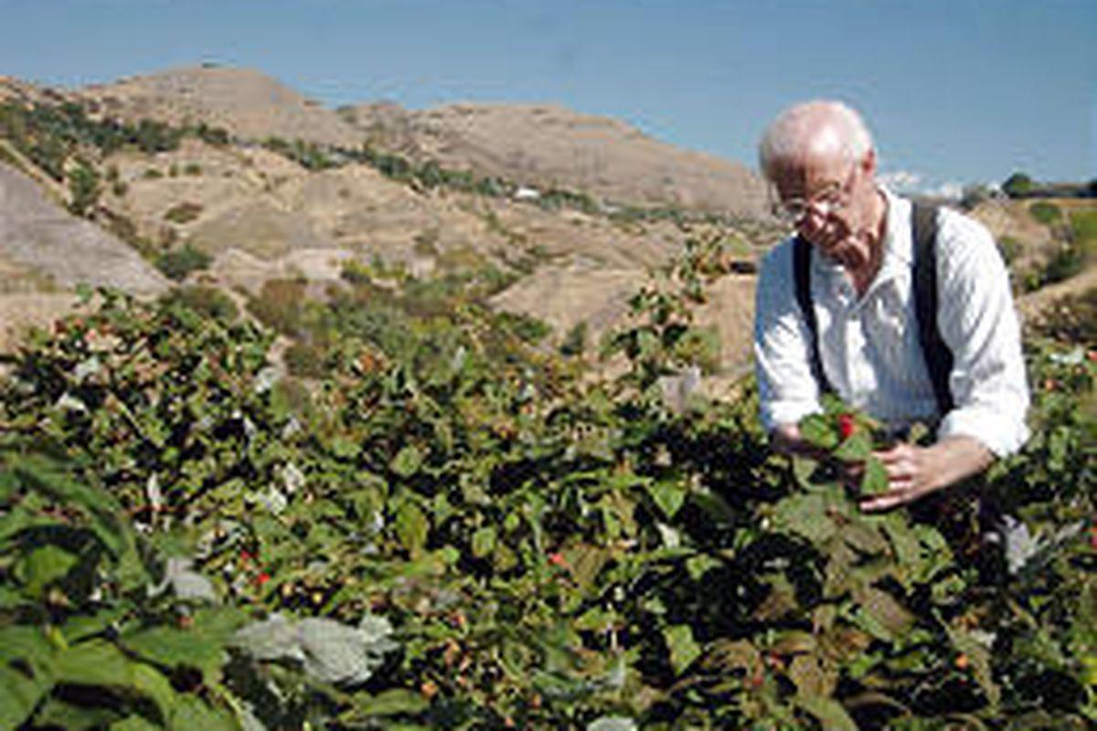 Merrill Wilson picks raspberries from his Avenues garden. He's been working the plot since the 1960s.