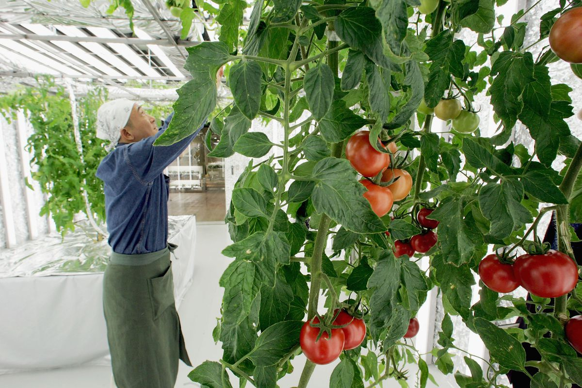 When Attacked Tomato Plants Release A Chemical That Make