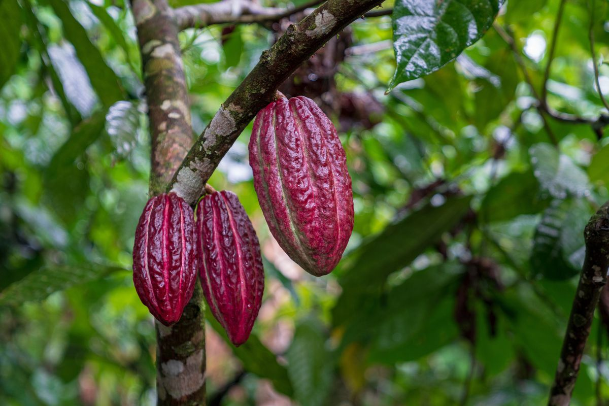 The tropical cacao tree, from which chocolate hails, can't handle direct sunlight, need rain year round, and take three to four years to produce blossoms.