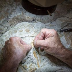 Paleontologist Rick Hunter uses a sharpened carbide needle to meticulously scrape rock away from around raptor bones at Thanksgiving Point in Lehi on Thursday, Aug. 31, 2017. The 9-ton chunk of rock may contain the fossils of as many as six different animals and may take as long as 10 years to fully excavate.