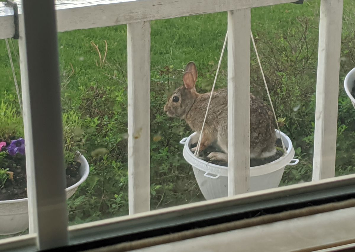 A rabbit decided to hop into a hanging basket to nibble the petunias. Credit: Dale Bowman