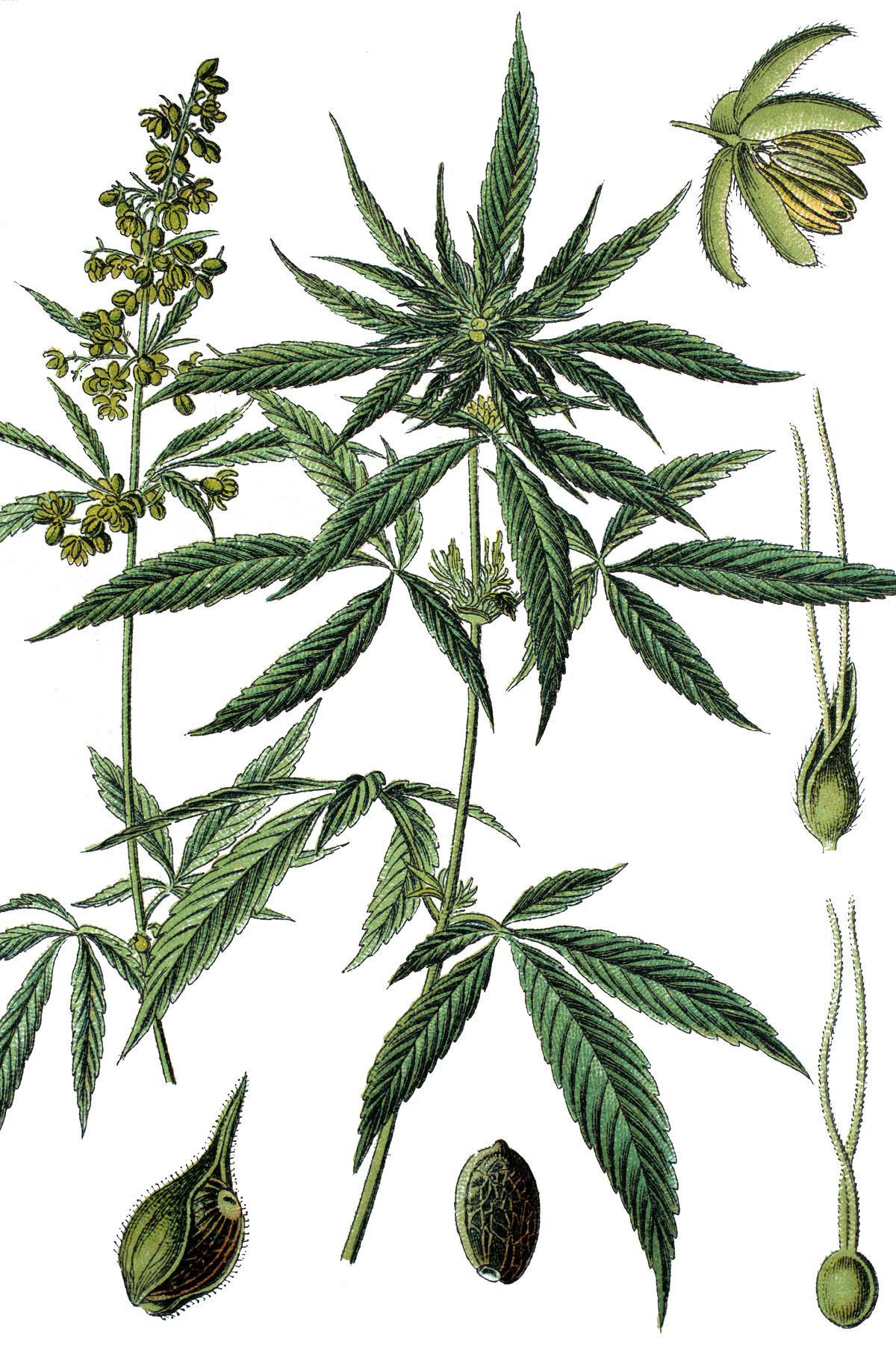 Pictures of marijuana plants from the 1890s.