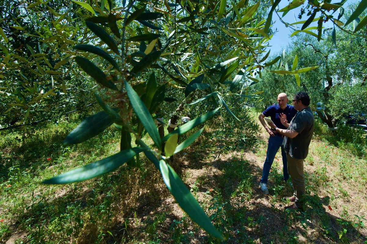 Italian olive groves struggle with deadly xylella disease