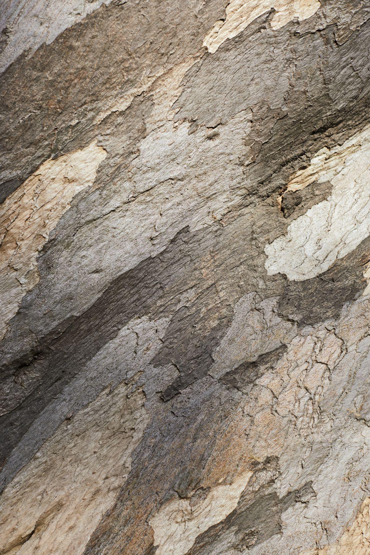 A close up view of eucalyptus tree bark.