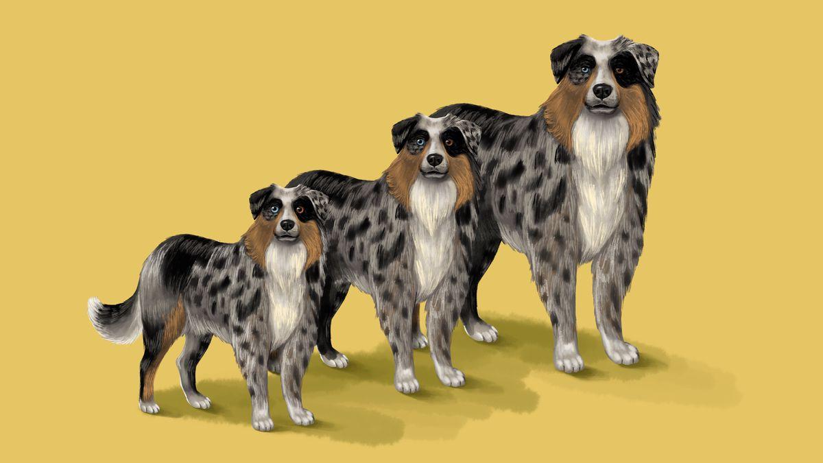 An illustration of three sizes of Australian shepherd