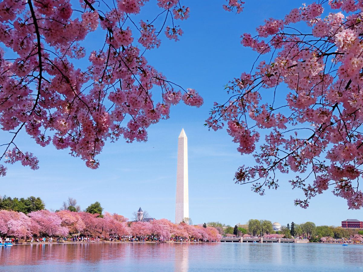 In the foreground is a body of water. In the distance is the Washington monument. There are trees with pink cherry blossoms.