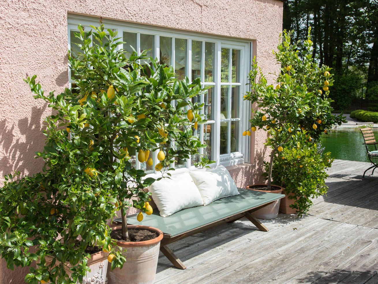two lemon trees in front of a window of a home surrounding a couch