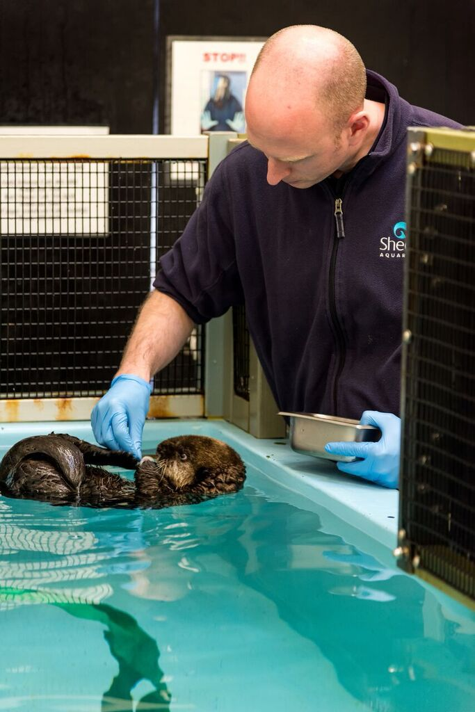 Rescued southern sea otter pup 719 (Enhydra lutris nereis) being fed by Shedd Aquarium trainer, Michael Pratt, behind the scenes at the Monterey Bay Aquarium. | @Monterey Bay Aquarium/Tyson Rininger
