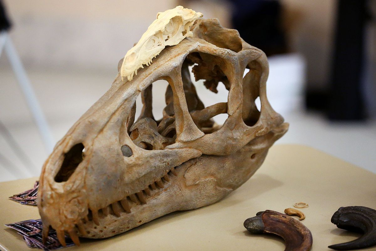 A Velociraptor skull sits on top of a Utahraptor at the Utah state Capitol on Monday, Feb. 12, 2018.