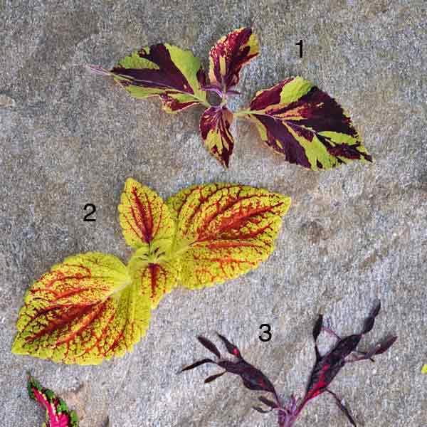Coleus Plants: 'Duke of Swirl'; 'Juicy Lucy'; 'Lion Fish'