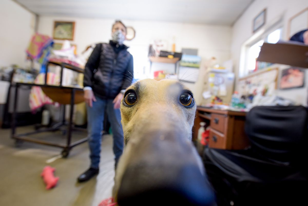 Retired racing greyhound Penny shows off her curiosity during her profile assessment earlier this month at a Burlington, Wisconsin kennel.