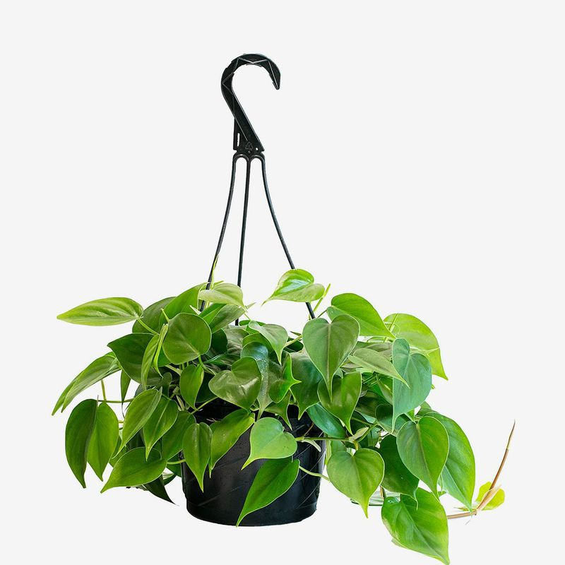 Hanging planter with trailing heart-shaped leaves.
