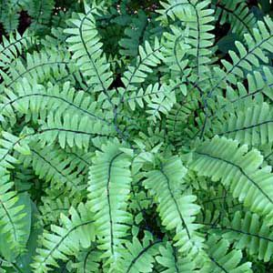<p>Maidenhair fern, of boreal forests</p>