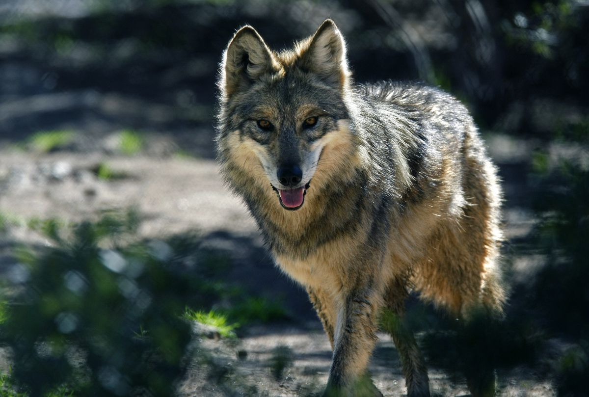 Photo a female Mexican gray wolf in a captive breeding enclosure at the California Wolf Center