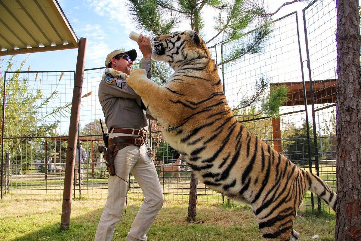 A keeper offers a feeding bottle to a full-grown tiger that's rearing up on him, with one paw on his shoulder.