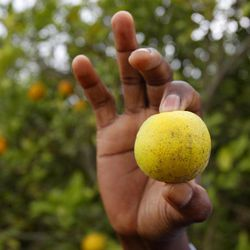 File - In this Jan. 24, 2012 file photo, citrus entomologist Mamoudou Setamou, holds an orange that is showing signs of citrus greening disease in a grove in San Juan, Texas. The California Department of Food and Agriculture announced Friday that citrus greening, also known as huanglongbing, has been discovered in lemon/pummelo tree in a residential neighborhood of Los Angeles County. The bacterial disease is carried by the Asian citrus psyllid and attacks the vascular system of trees.
