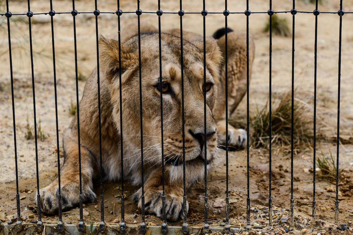 World Death Clock >> India just sentenced three 'man-eating' lions to life behind bars - The Verge