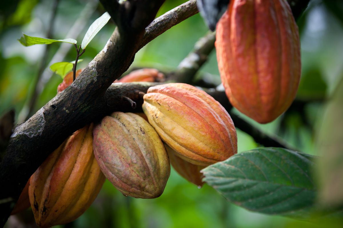 The seeds of the cacao fruit are ground into a powder to make chocolate and cocoa. Cacao is the purest form of chocolate you can consume. | THINKSTOCK.COM