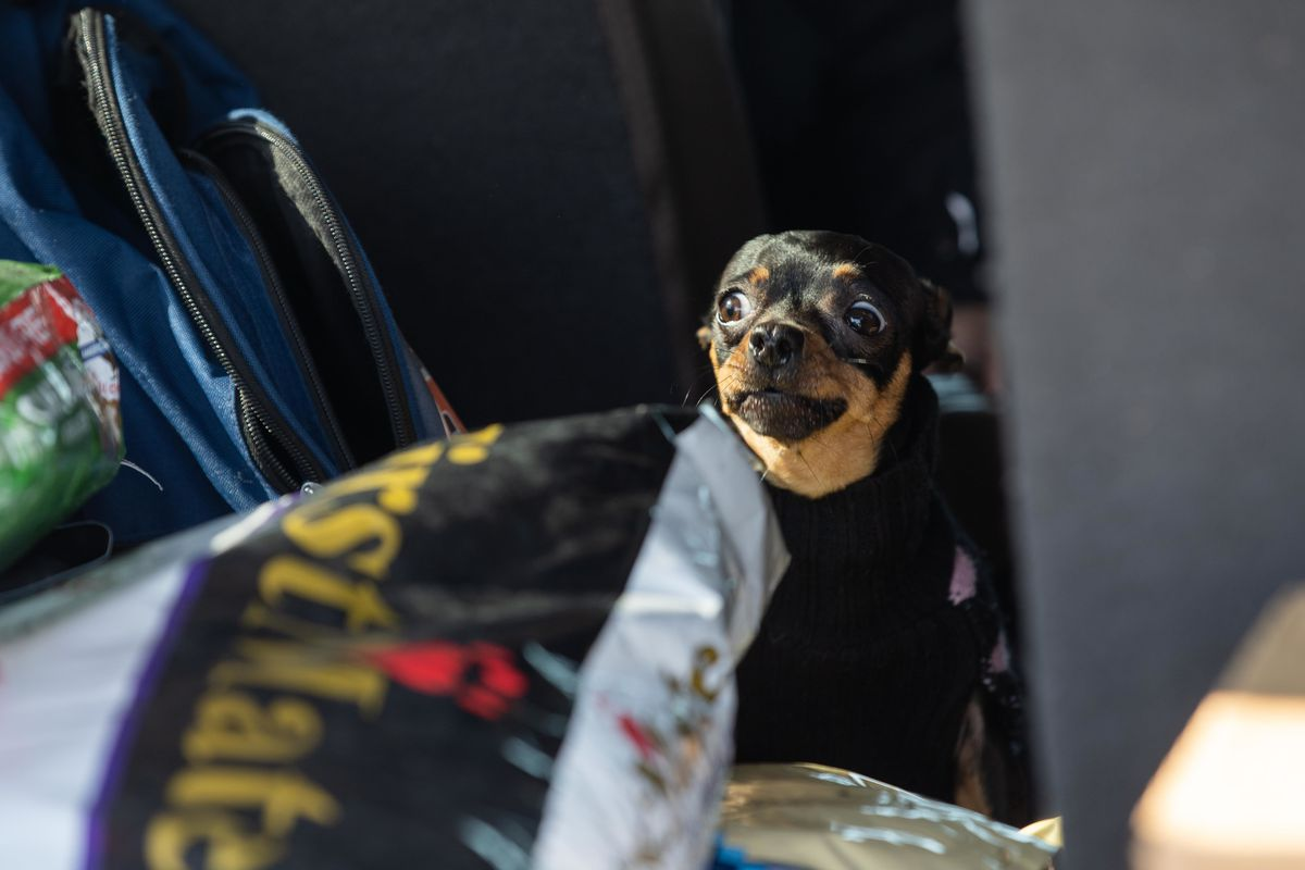 A dog peeks out of a car during the Cook County Sheriff's Office's drive-up pet food pantry.