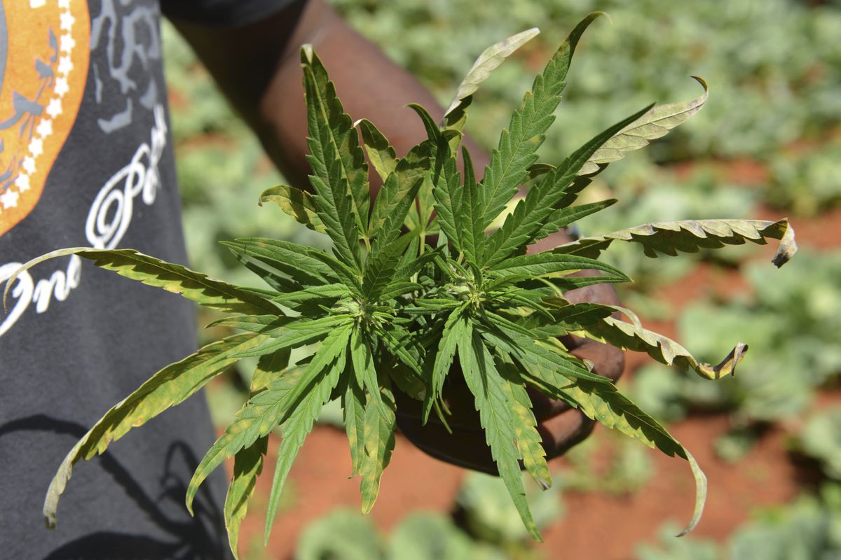 In this Aug. 29, 2013 file photo, farmer Breezy shows off the distinctive leaves of a marijuana plant during a tour of his plantation in Jamaica's central mountain town of Nine Mile.
