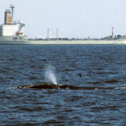 In this July 1, 1999 photo provided by the International Fund for Animal Welfare, a right whale swims at the surface in Canada's Bay of Fundy as a tanker ship passes.  The organization led the development of a new Whale Alert app for iPhones and iPads, which uses information from underwater microphones off the coast of New England to help mariners avoid striking the mammals.