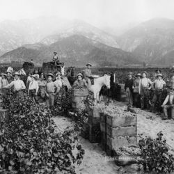 Vineyards in Hastings Ranch in California's San Gabriel Valley (once the state's premier winemaking region) in the late 19th century. (Source: Pasadena Museum of History)