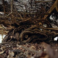 Roanoke Island's 400-year-old Scuppernong vine trained by the Englishmen that washed up there in the late 1500s.(Source: Southwynde.com)