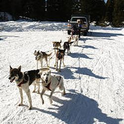 Lead dogs Falcon, left, and Deshka wait with the rest of the team while musher Sue Morgan of Richmond dons her parka before a recent training run in Seeley Lake, Mont. Morgan will compete in the Iditarod.