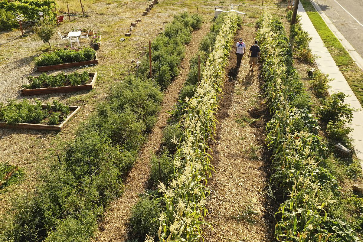 David Tashnek and Rabbi Samuel Spector, of Congregation Kol Ami's, walk through corn at Esther's Garden in Salt Lake City on Wednesday, Aug. 5, 2020. The Church of Jesus Christ of Latter-day Saints' Highland South Stake has partnered with Congregation Kol Ami to xeriscape the property around the synagogue.