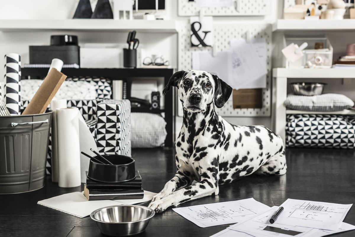 A white dog with black spots sits next to black and white patterned cushions.
