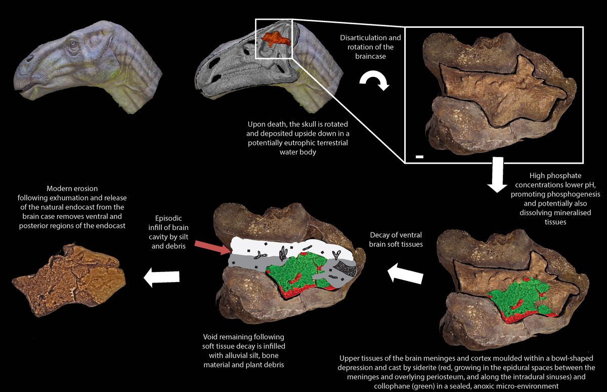 This misshapen pebble is actually the first dinosaur brain