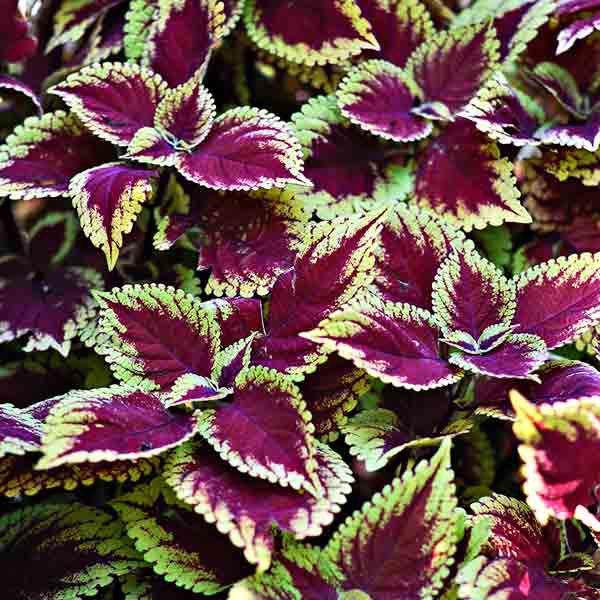 'Trusty Rusty' Coleus Plant