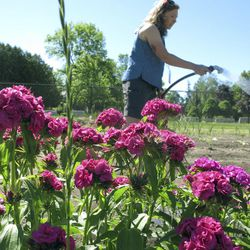 In this Thursday, June 15, 2017 photo, Christine Gall waters a vegetable and flower garden at the Burlington High School in Burlington, Vt. The school is part of the Wild for Pollinators initiative, which urges Vermont schools, businesses and individuals to plant flowers or leave areas unmowed to create habitats for bees and other pollinators that have rapidly declined.