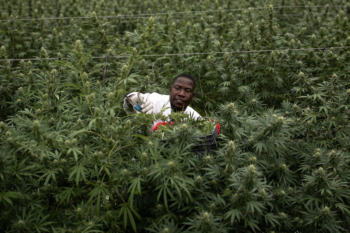 Uganda Sows Seeds Of Medical Marijuana Industry