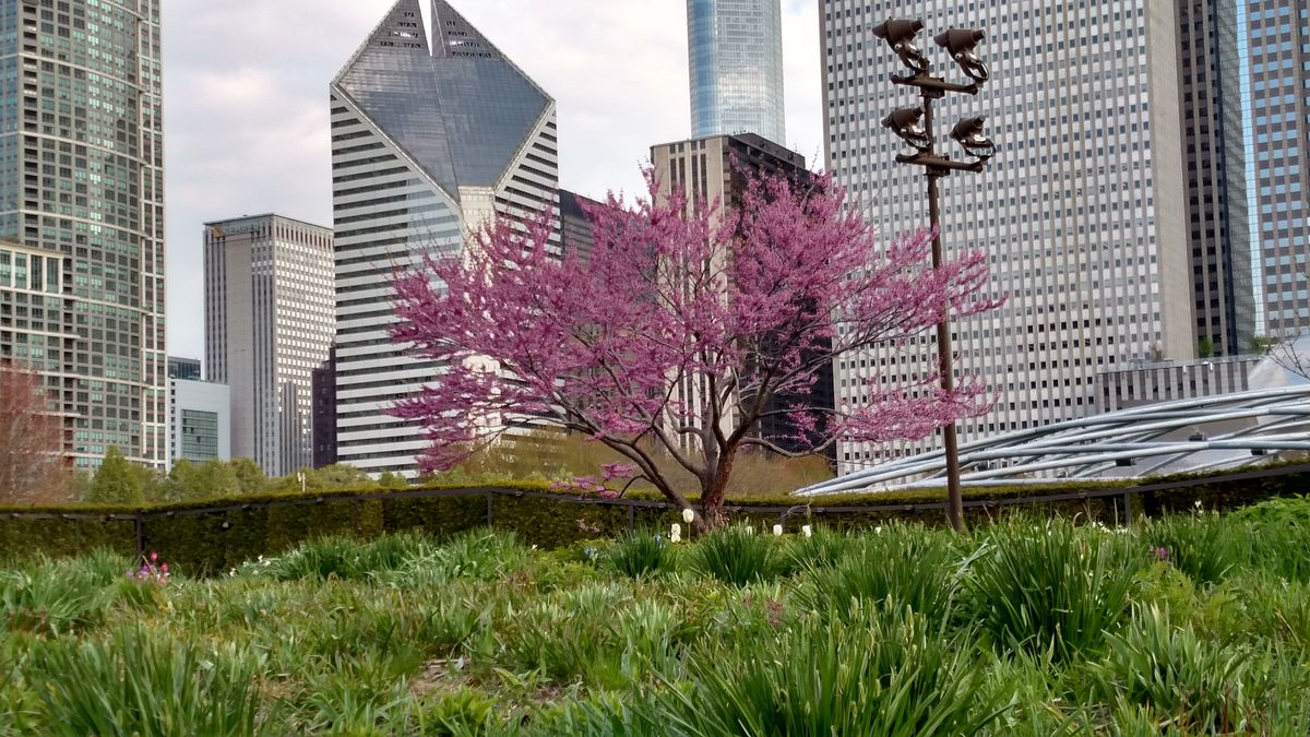 A red bud contrasted against the Chicago skyline on a fine May morning for an urban bird walk.<br>Credit: Dale Bowman