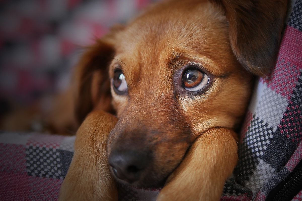 New research suggests that over thousands of years of dog domestication, people preferred pups that could pull off that appealing, sad look. And that encouraged the development of the facial muscle that creates it.