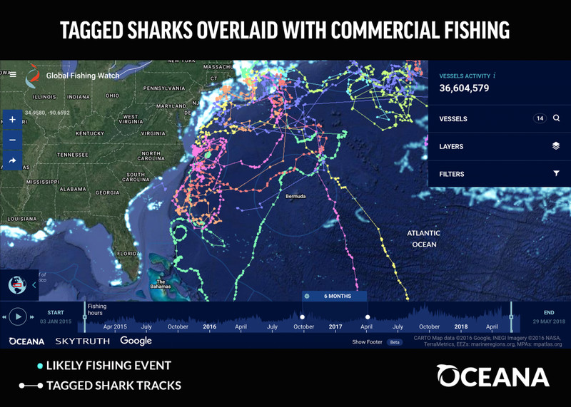 shark_week_2018_image_sharks_and_fishing_0 Overfishing is decimating sharks. This map shows where sharks and fishing boats cross paths.