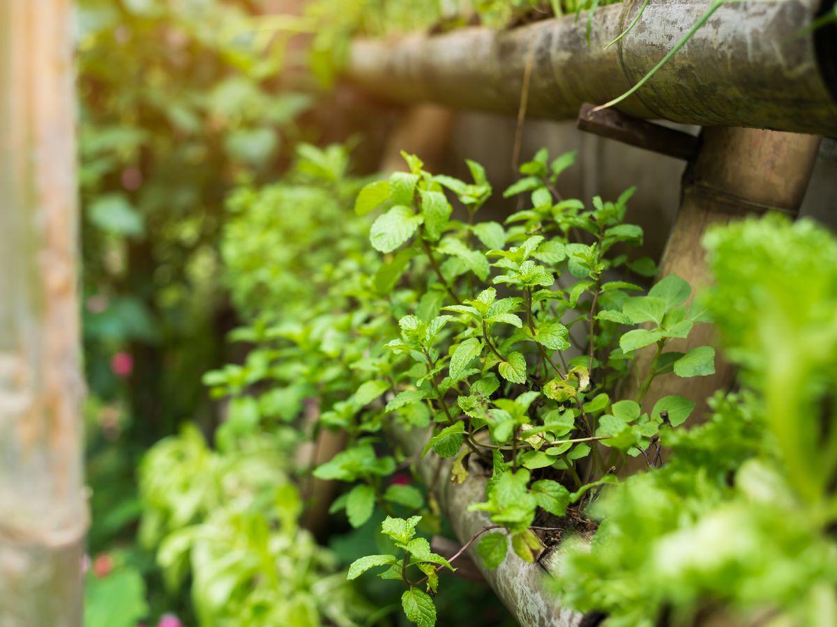 Plants grow along wooden frames in a community garden.