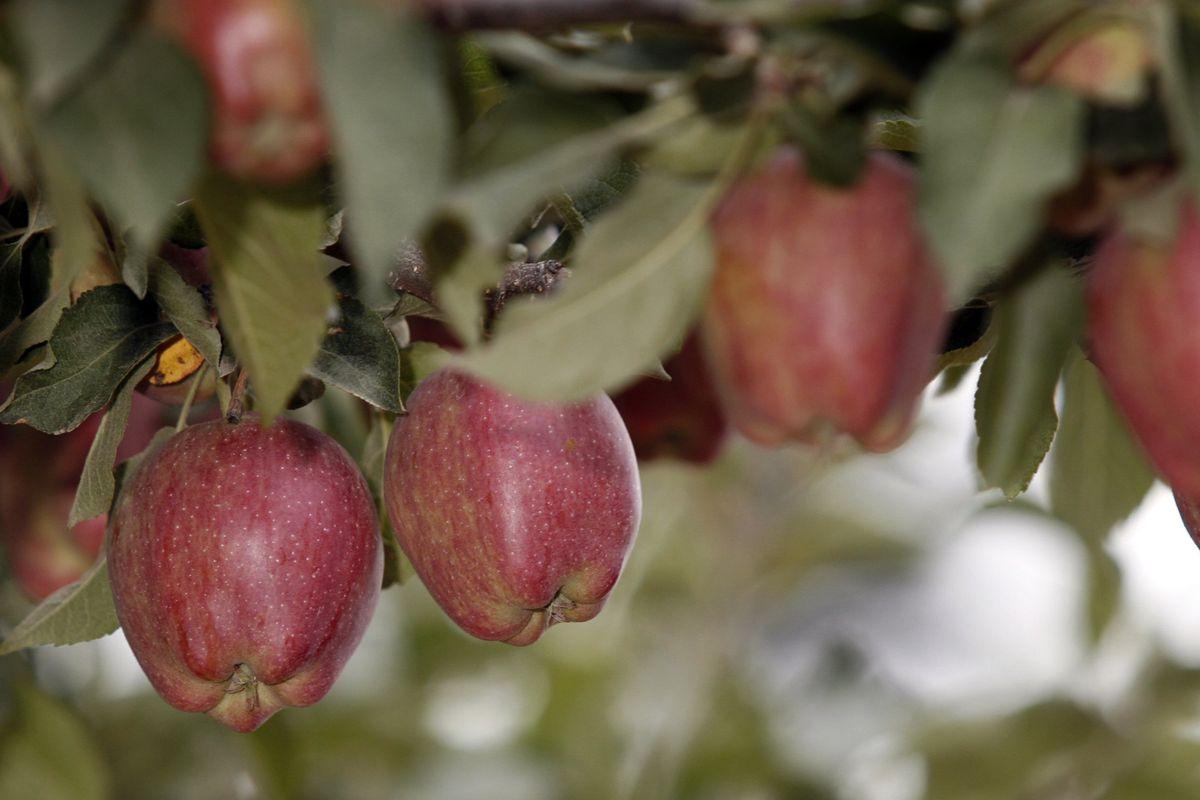 Annual Apple Harvest Underway In Washington State