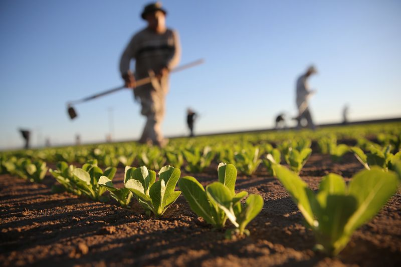 Mexican agricultural workers cultivate romaine lettuce on a farm on October 8, 2013 in Holtville, California.